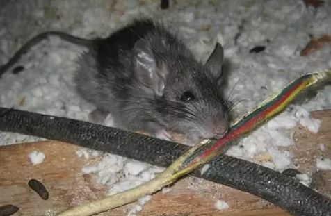 kabel listrik digigit tikus
